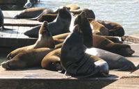 Sea Lions on Fisherman's Wharf in San Francisco